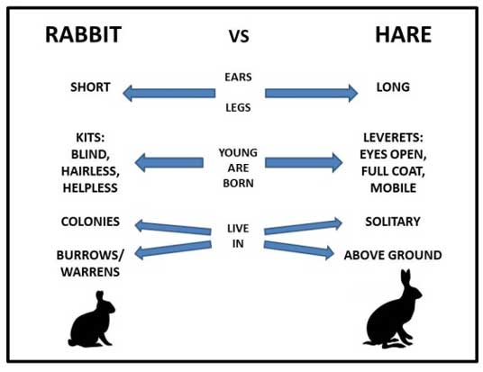 rabbit vs hare